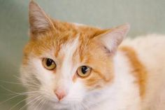 Chaz is an elegant feline with a striking white-and-red coat. Look at his cool markings! We think hes really something, and we hope you will, too. Chaz is 3 years old and came to us as a stray. Could you find a place in your heart and home for this outstanding cat?