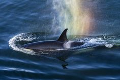 University of British Columbia researchers studying the marine food web of the Northeast Pacific Ocean have found that the exposure and accumulation of chemical pollutants, such as polychlorinated … Dolphin Family, Vancouver Aquarium, All Gods Creatures, Ocean Creatures, Killer Whales, Canada Travel, Under The Sea, British Columbia, Dolphins