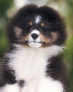 So fluffy! Sheltie pup