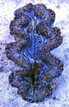 Blue-spotted Sqamosa Clam  (Tricdacna squamosa), Vietnam   /   RB