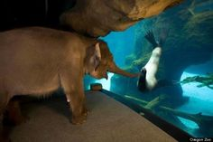 At the Oregon zoo an elephant stops to play with a sea lion during one of her morning walks. Look how excited she is!