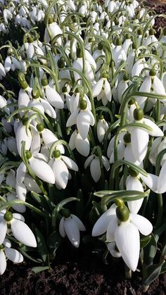 Exotic Flowers, White Flowers, Beautiful Flowers, Flower Show, My Flower, Spring Blooms, Spring Flowers, Snow Drops Flowers, Champs