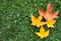 It's mid October and that can mean it's time for fall fertilizing, weed control, overseeding or even winterizing the irrigation system. If you want to prepare your turf for a better spring spring, try these tips in our 2019 Fall Turf Care Guide: Lawn Turf, Weed Control, Irrigation, Canning, Spring, Plants, Fall, Tips, Weed