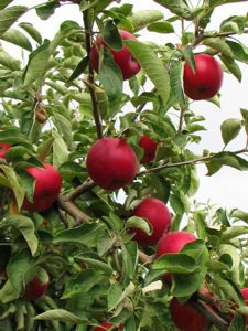 Apples   Detering Orchards