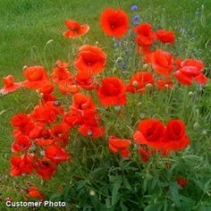 Red Poppy Seeds, Papaver rhoeas - Wildflower Seed from American Meadows Love red poppies! Red Poppies, Red Flowers, Beautiful Flowers, Meadow Flowers, Flowers Garden, Flanders Poppy, High Country Gardens, American Meadows, Wildflower Seeds