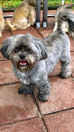 Shih Tzu Rescue | Available Dogs for Adoption Schnoodle Puppies For Sale, Schnoodle Puppy, Yorkie Puppy For Sale, French Bulldog Puppies, Shih Tzu Rescue, Shih Tzu Dog, Really Cute Puppies, Cute Dogs, Teddy Bear Poodle