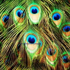 Peacock Eyes  turquoise Peacock blue feathers by mingtaphotography, $30.00