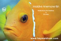 Maldive Anemone