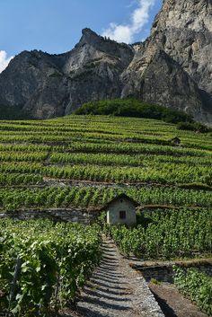 Vineyards of Chamoson, Ardon, Canton of Valais, Switzerland