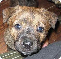 Costa Mesa, CA - German Shepherd Dog Mix. Meet Emmy Lou a Puppy for Adoption.