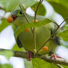 Thick-billed Pigeon (female) - Treron curvirostra,  Phuket, Thailand.
