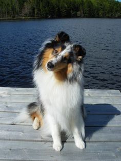 20 Things All Shetland Sheepdog Owners Must Never Forget. The Last One Brought Me To Tears… 20 Things All Shetland Sheepdog Owners Must Never Forget & The post 20 Things All Shetland Sheepdog Owners Must Never Forget appeared first on Bates Dog Hotel. Loyal Dog Breeds, Loyal Dogs, Rough Collie, Collie Dog, Pet Dogs, Dogs And Puppies, Dog Cat, Doggies, Shetland Sheepdog Puppies