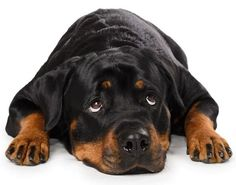 When it comes to your Rottweilers health, one of the most important factors is the dogs diet. A healthy and well balanced meal will improve the dogs health, mood, energy and can even extend their life expectancy.
