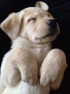 sleepy puppy lab
