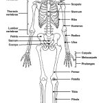 Science Human Body Systems, Skeletal System, Cycle 3, Hair Accessories, Science, Skeletons, Pictures, Anatomy, Image