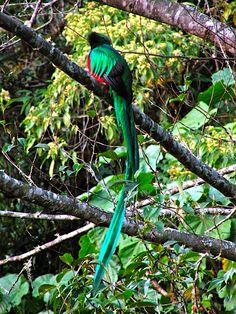 resplendent quetzal | Resplendent Quetzal