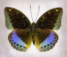 Common Archduke butterfly (Lexias pardalis)