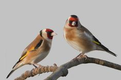 Royal Marines, Goldfinch, Wildlife Nature, Lovers Art, Beautiful Things, Birds, Inspire, Twitter, Colors