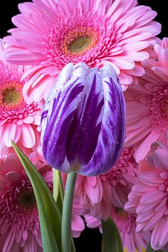Purple Tulip And Pink Daisies by Garry Gay