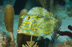 "The Scrawled Cowfish has small ""horns"" or spikes over its eyes, similar to the horns of a cow."