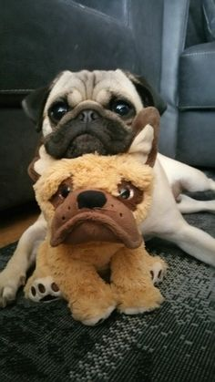 This pic just made my day, so adorably cute #pug