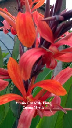 Canna lily Mystic, alta 1,50 mt circa fogliame elegante