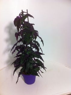 Gynura purple passion