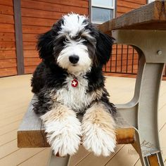 Clever, goofy, gentle, and loyal. Bernedoodle fans boast that this mixed breed has the best of both worlds from its Bernese Mountain Dog and Poodle parents. Also known as the Bernese Mountain… Small Dog Breeds, Small Dogs, Bernedoodle Puppy, Goldendoodles, Labradoodle, Havanese, Pet Dogs, Pets, Doggies