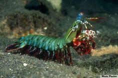 Mutlu Patilerr: Mantis Karidesleri Dünyanın En Güçlü Yumruğuna Sah...