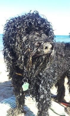 Moos aka Catalan Beach Monster... after a sand bath. Costa Brava, Spain 20141011