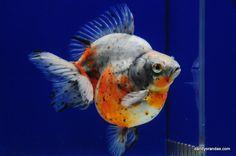 Tri-Color Short-Tail Ryukin » DandyOrandas.com Ryukin Goldfish, Oscar Fish, Aqua Culture, Koi Ponds, Cute Fish, Types Of Gold, Guppy, Fish Tanks, Color Shorts