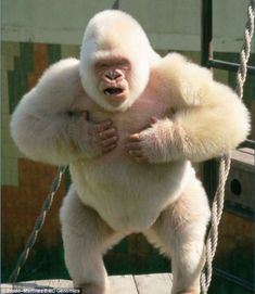 Rare Albino Animals You Probably Have Never Seen Before R. - Rare Albino Animals You Probably Have Never Seen Before Rare Albino Animals - Gorila Albino, Rare Albino Animals, Unusual Animals, Animals Beautiful, Strange Animals, Primates, Mammals, Zoo Animals, Animals And Pets