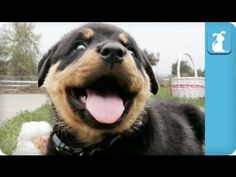 This Gang Of Rottweiler Pups Enjoying A Day Outside Will Leave You Smiling All Day!