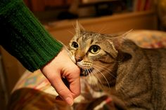 9 Tips To Stop Your Cat From Biting  http://iheartcats.com/9-tips-to-stop-a-biting-cat/?utm_source=Homer+The+Blind+Cat&utm_medium=Facebook+Post&utm_campaign=Homer+The+Blind+Cat