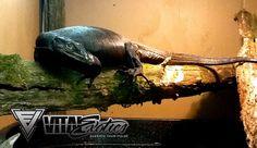 black water monitor | Reptile Guru High Yellow Male #1 X Black Dragon Female #1 (Project #4)