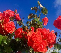 Розы в саду 🥀🥀