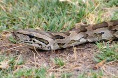 La pitón de Seba o pitón africana de roca es la serpiente más grande del continente africano. Puede medir hasta...
