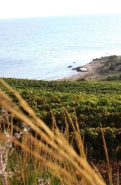 Vines 101: A Guide to Sicilian Wine.  http://www.butterfield.com/blog/2014/06/04/vines-101-sicilian-wine/  #travel #Sicily #wine #Italy #drinks #holiday #trip #vacation #myBNR