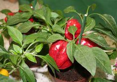 Chilisatoa jo nuoresta kasvista