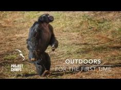 This heartwarming video from Project Chimps shows once-captive chimpanzees going outside for the first time in their lives. The chimps were rescued from labs, where they were used for cruel medical ex N Animals, Funny Animals, Forest Habitat, Talk About Love, New Environment, Go Outdoors, First Humans, Chimpanzee, Primates