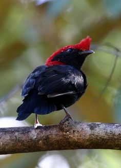 The Helmeted Manakin (Antilophia galeata) is a small species of bird in the Pipridae family, the manakins. It is found in the cerrado and pantanal of Brazil; also northeast Paraguay, and a border region of northeast Bolivia.