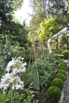 White Agapanthus in foreground, greenhouse in background (photo by Matt Mattus)