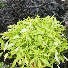 Shade loving: Illusion Emerald Lace sweet potato vine Illusion Emerald Lace Ipomoea batatas is a compact selection with bright lime-green foliage and a mounding/trailing habit. It grows 10 inches tall and spreads 4 feet across.