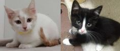 We have 2 more kittens in today looking for Forever Homes! Travis is a 2 month old orange & white little little who seems the most gentle by nature. Willie is a 2 month old black & white kiddo who loves to snuggle Travis & play hide & seek. Check out his white socks! ADORABLE!   Questions? Call us at 310.441.1150 These Kittens are available for adoption at L.A. Love & Leashes, located on the 1st floor of the Westside Pavilion mall at 10800 West Pico Blvd, Los Angeles, CA 90064. http://www...