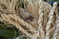 Karmen Thomson - a weaver's tools and materials, muka (flax fibre) a mussell shell (to scrape the flesh off the leaves etc) and of course some of the end result - fine flax fibre (muka) Flax Weaving, Flax Fiber, Maori Art, Weaving Patterns, In The Flesh, Harvest, Traditional, Leaves, Blessing