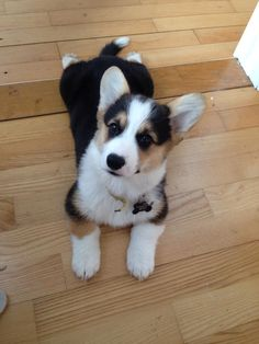 This such a cute tri colored corgi pup. look at the little tail and the fat front paws.
