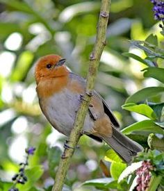 ... Brown-flanked Tanager (Pete Morris)