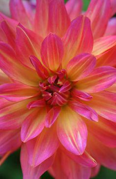 Dahlia, my favorite flower, as well as that of my dear Mother who is enjoying the most beautiful flowers with her Savior Jesus, in heaven!!