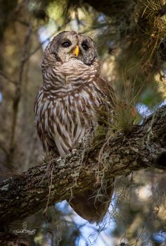 Barred owl, Florida