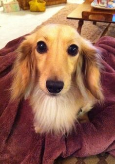 The cutest dachshund ever (in my mind at least), my doggie Rivers. He's an English Cream long hair...AND he was a rescue. How lucky did I get?!